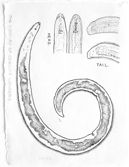 Ink drawing of a nematode worm on paper, by JV Roberts