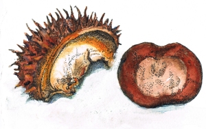 Watercolour sketch of a horsechesnut seed and its shell
