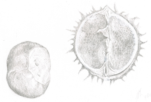 Conker seed and shell