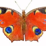 peacockfly