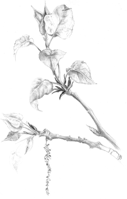 poplarcatkin 2