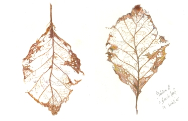 Beech tree leaf in winter